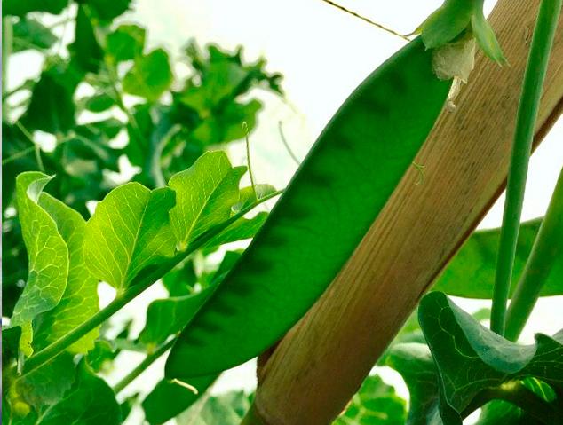 El pèsol sobre l'arbre
